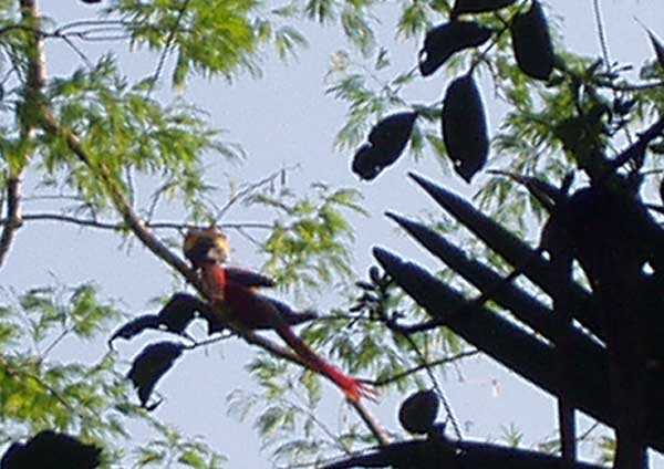 Scarlet Macaw Pair Sequence - Birdwatching - Maya Expeditions