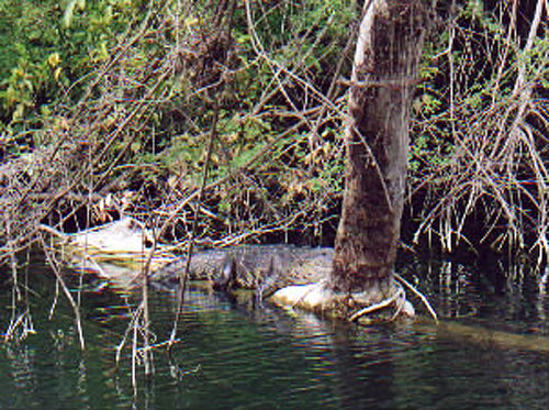 Crocodile lounging on log - Nature Reserves - Maya Expeditions